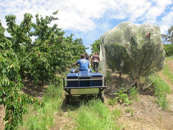 2_Fruit-Picking-Adelaide