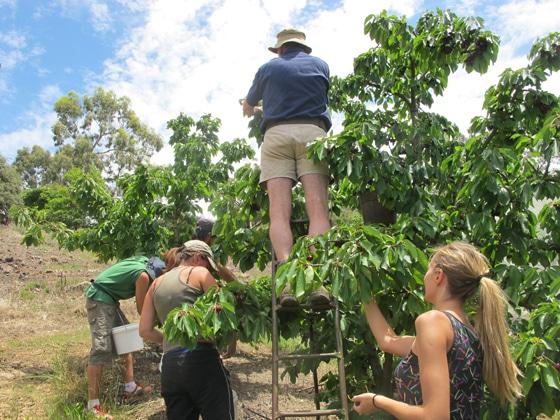 5_Fruit-Picking-Adelaide