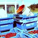 Fruit Picking in den Adelaide Hills: Ein typischer Tag