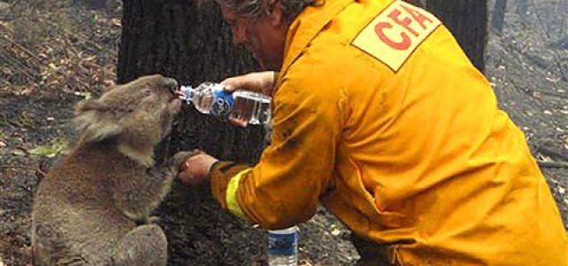Drei unglaubliche Koala Geschichten