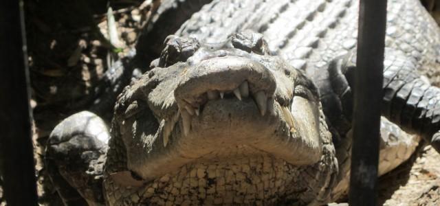 Krokodile in Australien