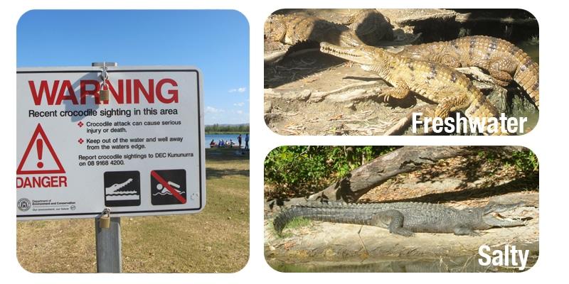 Krokodile in Australien_2