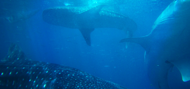Größter Hai in Australien gesichtet