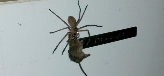 Australien – Riesige Spinne isst Maus