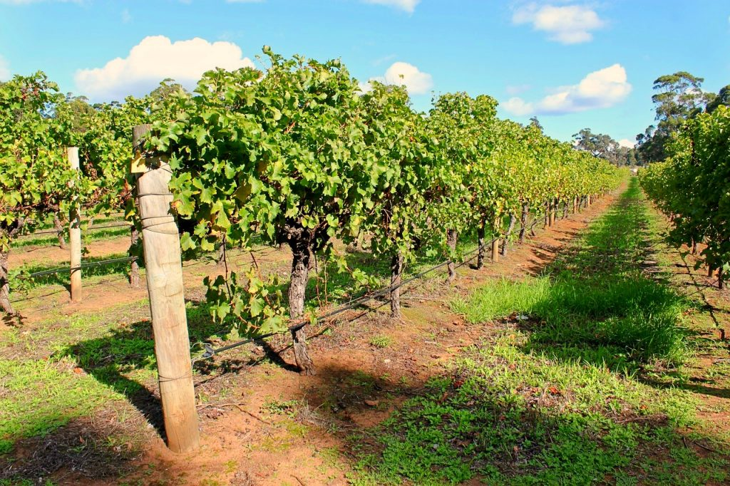 Farmarbeit  in Australien Wein