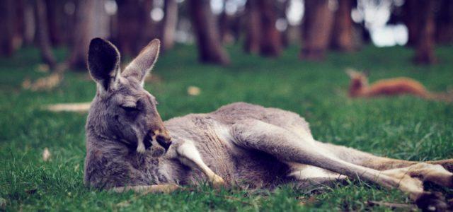 11 unglaubliche Känguru Fakten
