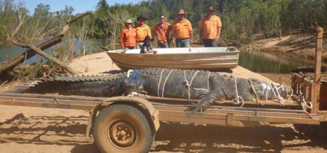 Nach 8-jähriger Verfolgsjagd: 4,7 Meter großes Krokodil gefangen