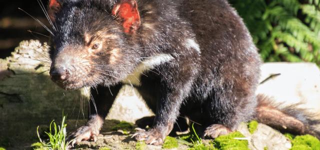 Der Tasmanische Teufel – Das lauteste Tier Australiens