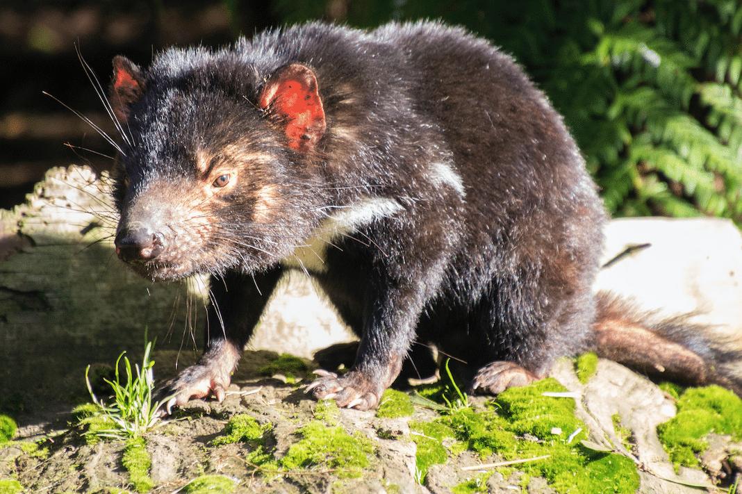 Tasmanien Tiere