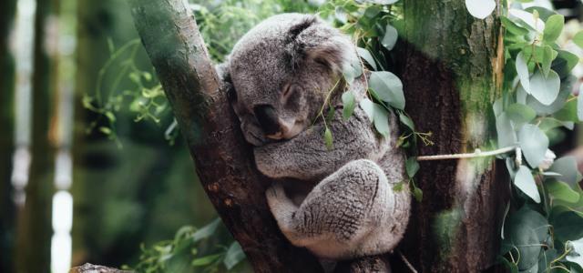 Koalas: Die entspanntesten Tiere in Australien