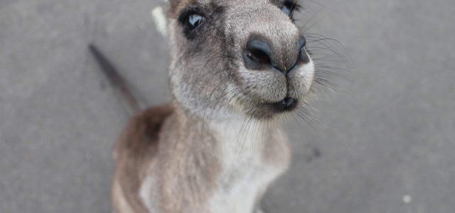 Kängurus: die bekanntesten Tiere Australiens