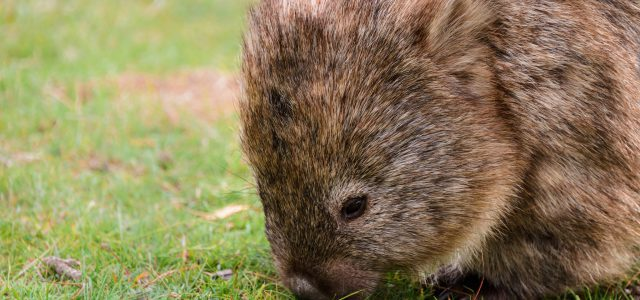 10 lustige Fakten über Wombats