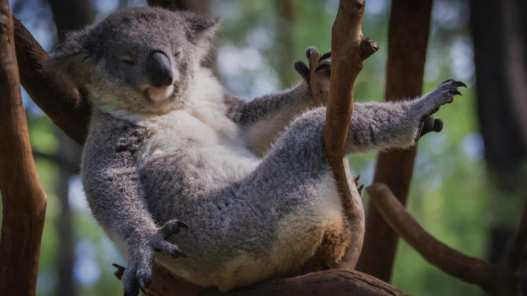 Die 7 interessantesten Fakten über Koalas
