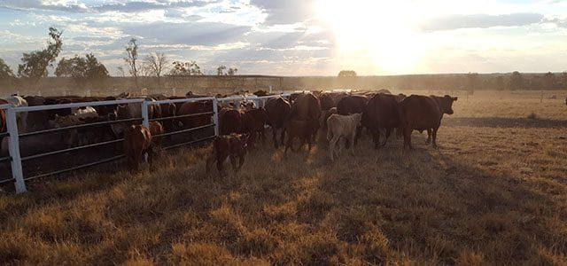 Auf einer Rinderfarm in Australien arbeiten – Ein Erfahrungsbericht