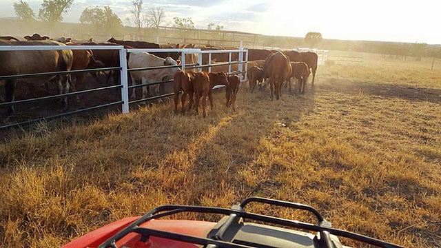 Rinder in Queensland