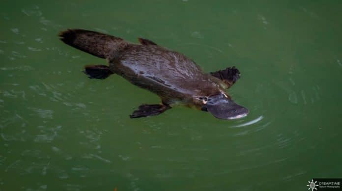 Platypus Australien