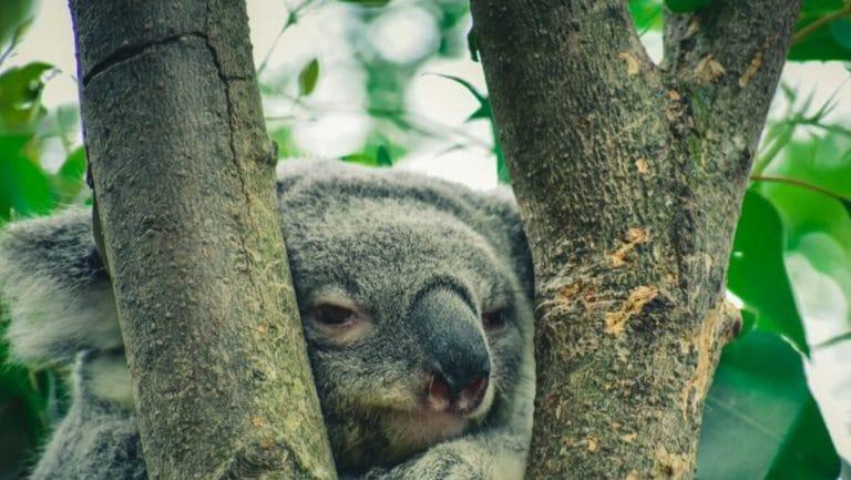 Vier unglaubliche Koala Geschichten